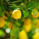 lemon abundance by lukasdf