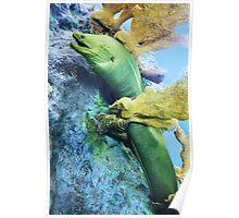 Green Moray  Poster