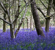 The Bluebell Wood by Adam Lack