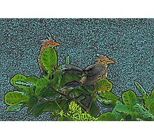 Two Guira Cuckoos Photographic Print