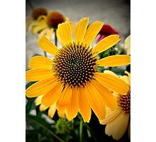 Yellow Coneflower Photographic Print