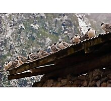 pigeon lineup Photographic Print