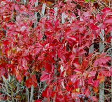 Virginia Creeper on Dune Fence - Fall Colors Sticker