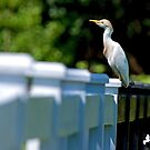 Cattle Egret On Guard by TJ Baccari Photography