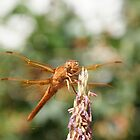 Happy Dragon Fly; La Mirada, CA USA  by leih2008
