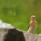 The Wheatear On Watch by CBoyle
