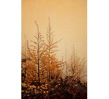 Little Larches Photographic Print