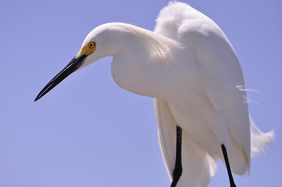 Snowy Egret, As Is.............Elvis? by Kim McClain Gregal