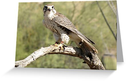 Prairie Falcon ~ Captive by Kimberly Chadwick