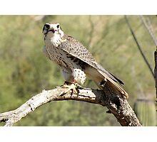 Prairie Falcon ~ Captive Photographic Print