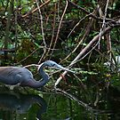 Tricolored Heron by D R Moore