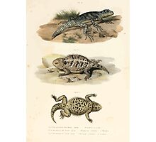 Joseph Fitzinger 1867 0043 Picture Atlas for popular scientific natural history of vertebrates Photographic Print
