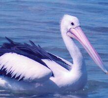pelican  by david  stiglmayer
