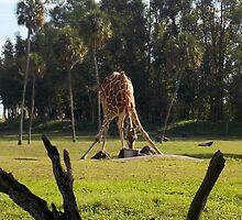 Giraffe Drinking by tessanicole