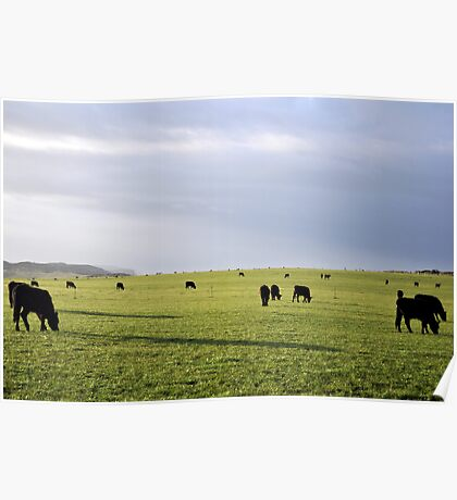Early Morning Cows Poster