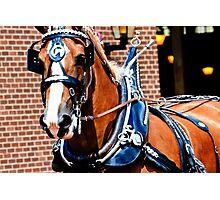 Belgian Show Horse Photographic Print
