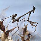 Empusa larva by jimmy hoffman