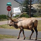 huge elk  by Amanda Huggins
