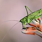 Tettigonia viridissima by jimmy hoffman