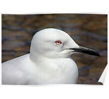 Black-billed gull head Poster