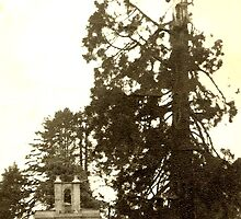 1959..Wellingtonia, destroyed by lightning!!! by poohsmate