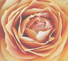 peach rose, dramatic bloom by STUDIOCLAIRE