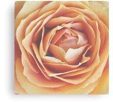peach rose, dramatic bloom Canvas Print