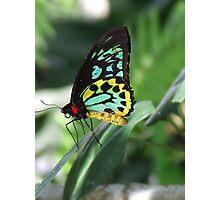 Cairns Birdwing Butterfly  -  Kuranda Photographic Print