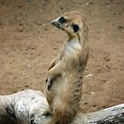 Meerkat Lookout by Madcowontherun