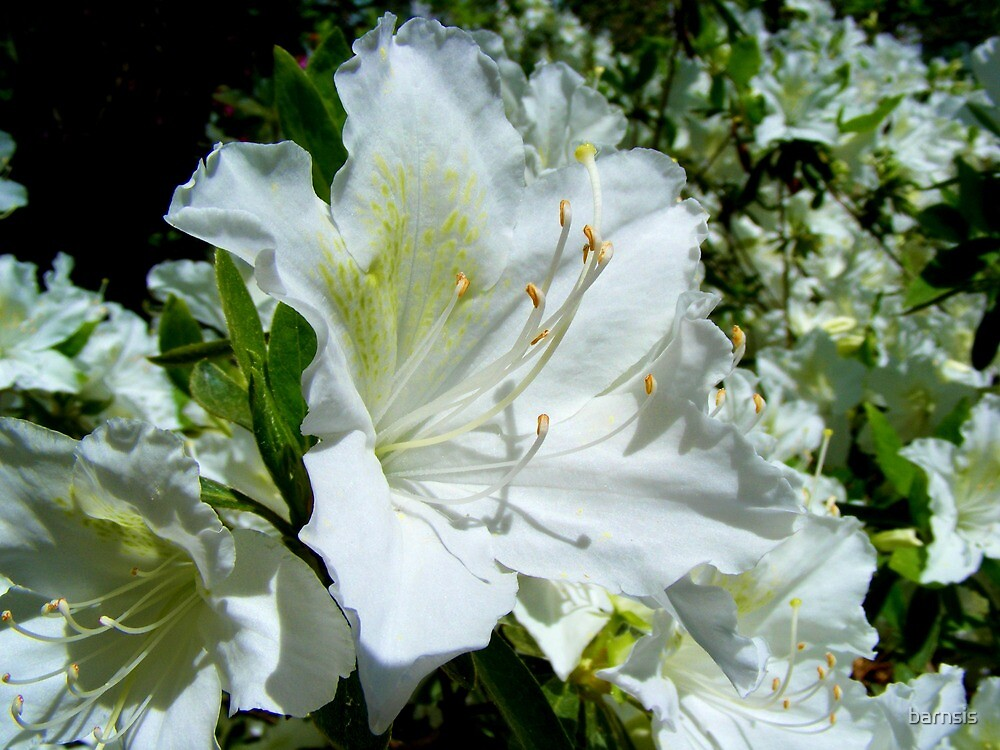 White Evergreen Azalea by barnsis