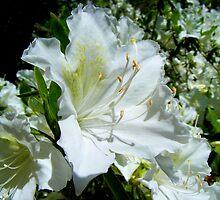 White Evergreen Azalea by barnsis