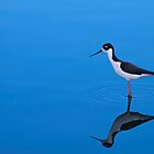 Black-necked Stilt by Richard G Witham