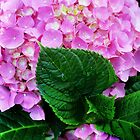 Hydrangea by Laurie Minor