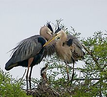 Great Blue Heron Male and Female and Babies by imagetj