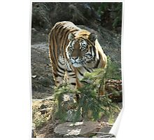 Beautiful tiger in sunlight Poster