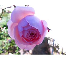 Flourescent Purple Rose Photographic Print