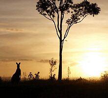 Curious Kangaroo - North Lakes by Jason  Neylon
