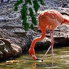 The Pink Flamingo by barnsis