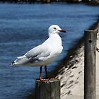 Seagull on the sea shore - Williamstown by Deb Gibbons