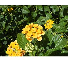 Yellow Cluster Photographic Print