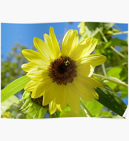 Bumble Bee on Sunflower Poster