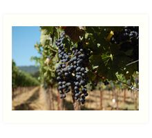 Grapes at Napa Vineyard Art Print