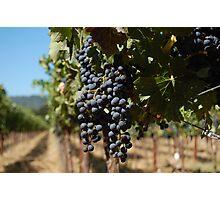 Grapes at Napa Vineyard Photographic Print