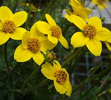 Sun Kiss (Bidens) by Poete100