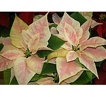 Poinsettias in the Park Photographic Print