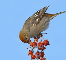 Tasting The Popsicles / Pine Grosbeak by Gary Fairhead
