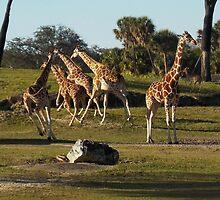 Giraffes Running by tessanicole