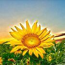 """Flowering Sun"" - sun setting behind sunflower by John Hartung"