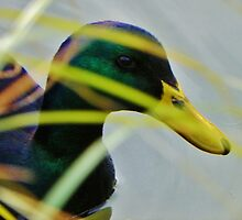PeeKing Duck by Elizabeth Tilghman