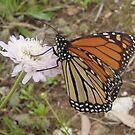 Wanderer Butterfly (Danaus plexippus) - Horsnell Gully, South Australia by Dan & Emma Monceaux